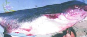 Triệu chứng – Cách phòng và điều trị bênh hoại tử da trên cá da trơn