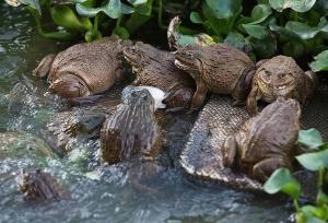 Hướng dẫn bà con cách điều trị tiêu chảy phân trắng trên ếch
