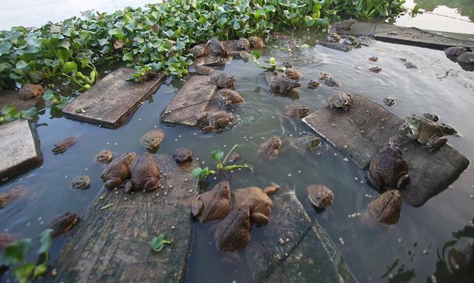Tìm ngay cách điều trị tiêu chảy phân trắng trên ếch